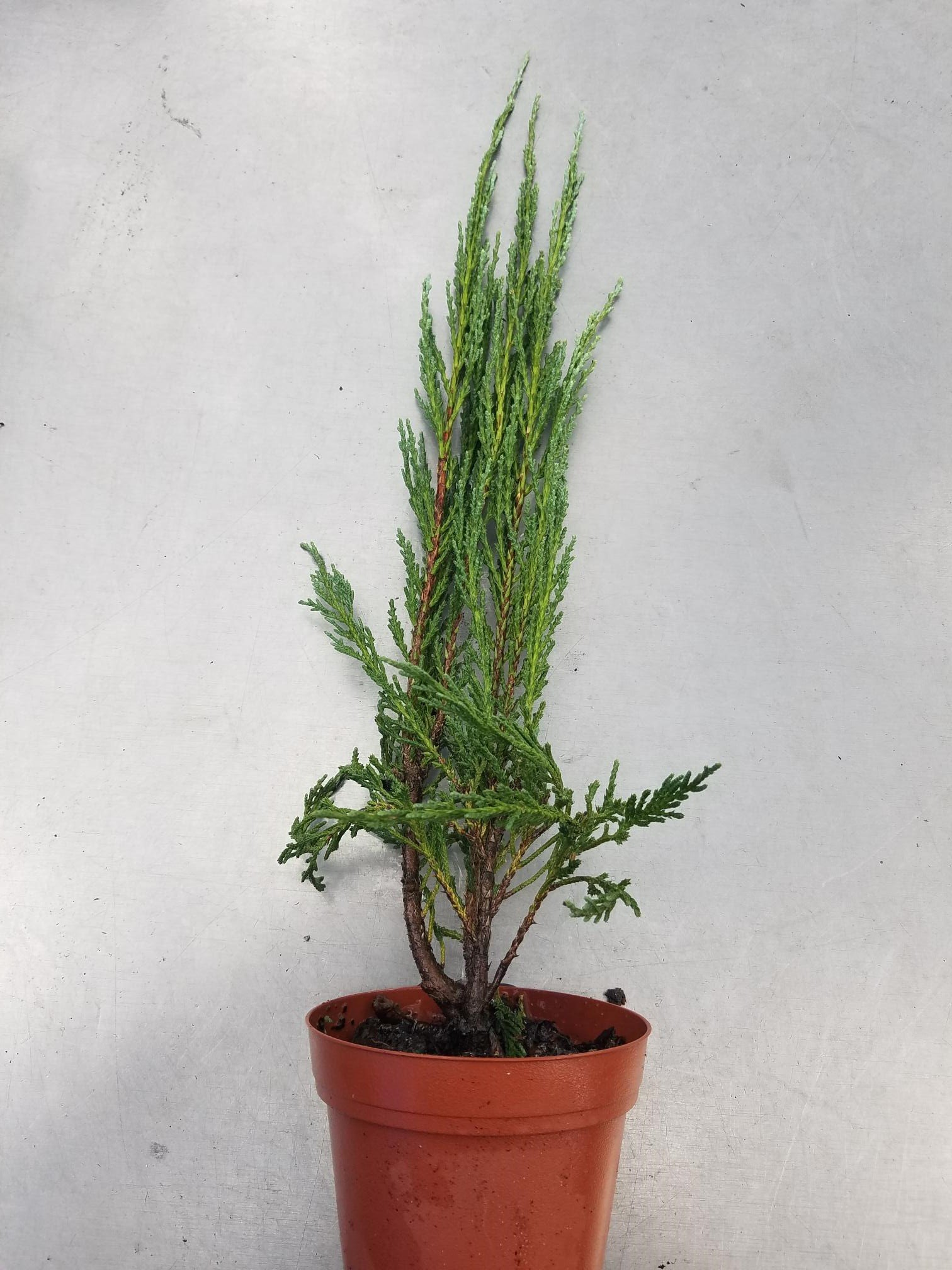 Sandys Nursery Online Juniperus scopulorum 'Blue Arrow' 4 inch Pot Lot of 20 by Sandys Nursery Online (Image #3)