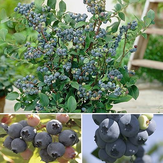 3 Blueberry Herbert Fruit Bush in a Large 9cm Pot 3fatpigs/®