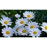 3000 Shasta Daisy Seeds Chrysanthemum Maximum