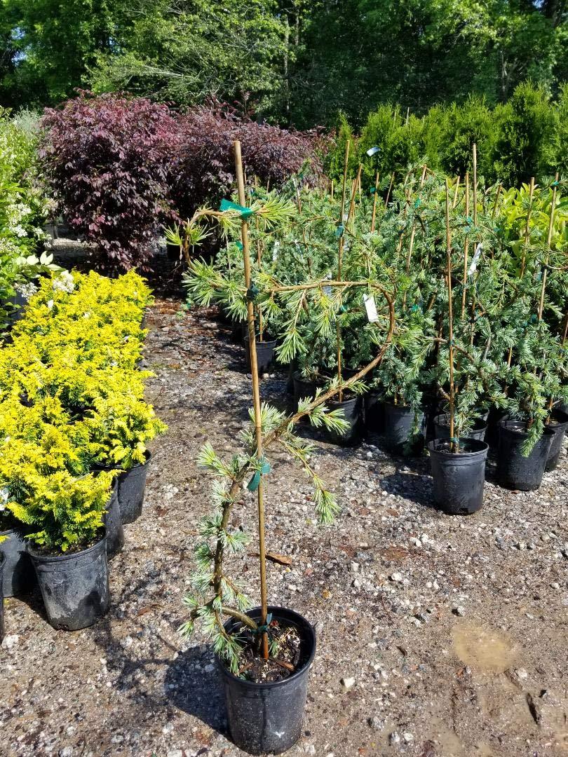 New Life Nursery & Garden- - Weeping Blue Atlas Cedar- - Serpentine'', Trade Gallon Pot by New Life Nursery & Garden