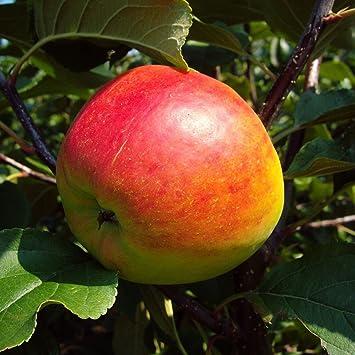 Apfel Obst Herbstapfel als Buschbaum im Topf