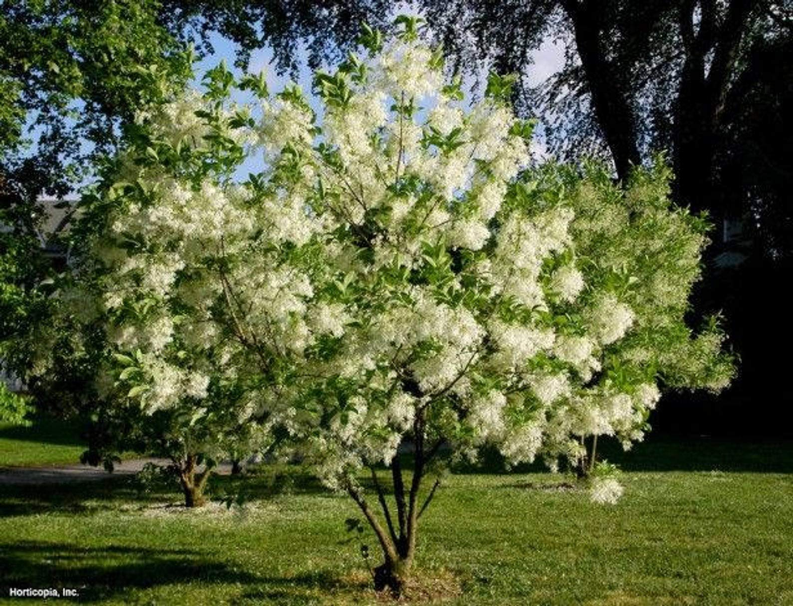 White Fringe Tree, Chionanthus virginicus, 1 Quart Potted, Landscaping, Grancy Graybeard, Deciduous, White Fringe Like Blooms, Unique