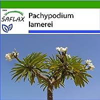SAFLAX - Palma de Madagascar - 10 semillas - Con sustrato estéril para cultivo - Pachypodium lamerei