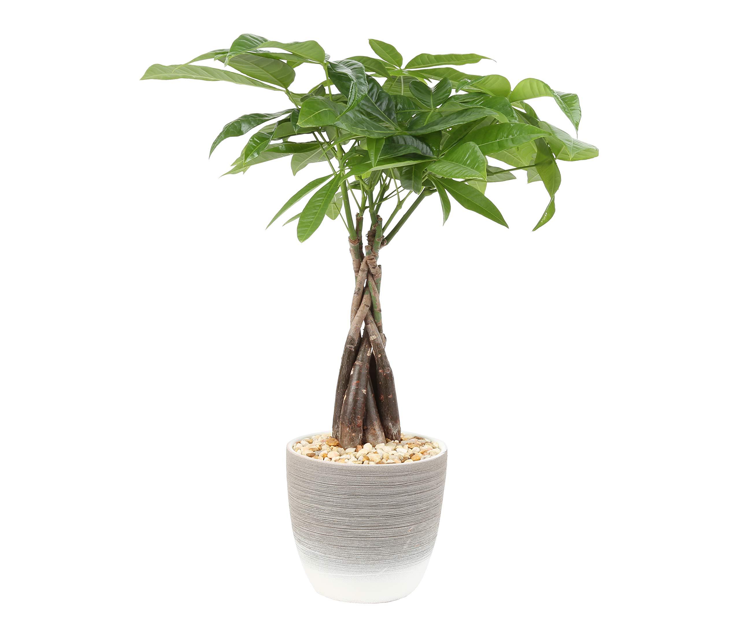 Costa Farms Money Tree, Pachira, Medium, Ships in Premium Ceramic Planter, 16-Inches Tall by Costa Farms