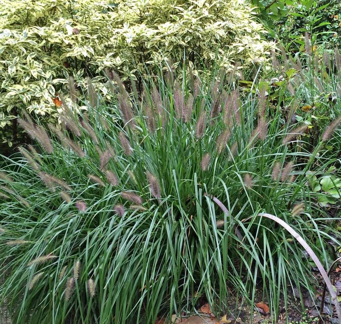 5 Black Fountain Grass - Pennisetum alopecuroides 'Moudry'' - Five Live Plants by yuni115