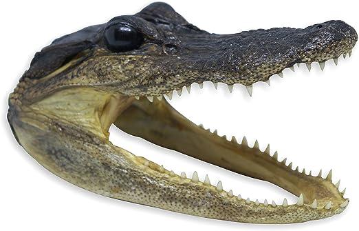 "REAL 6/"" GATOR HEAD OFF 3/' FLORIDA AMERICAN ALLIGATOR skull  teeth AUTHENTIC"