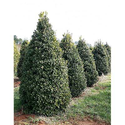 Qty 30 Oakleaf Holly Ilex x Conaf Live Evergreen Privacy Trees : Garden & Outdoor