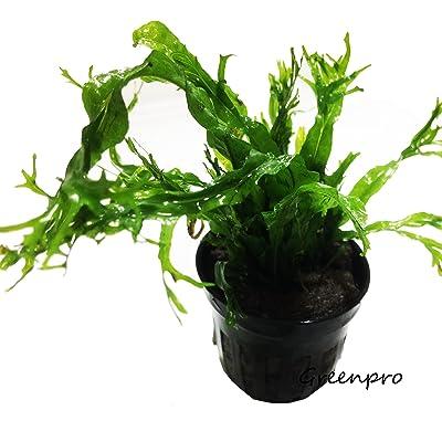Microsorum Pteropus Windelov Java Fern