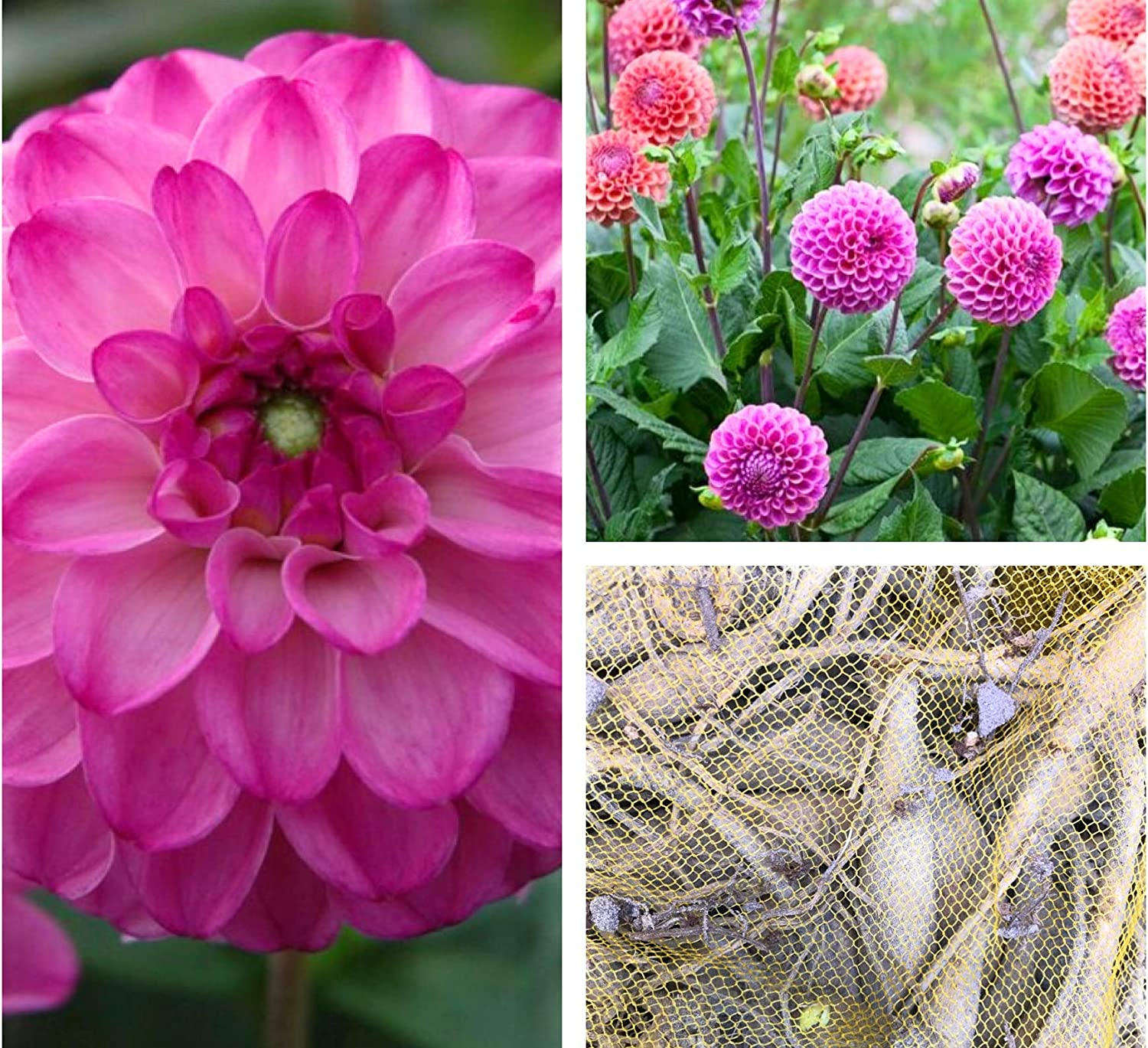 Free UK Postage 3 x Dahlias Salvation Ball Tubers to Plant Yourself