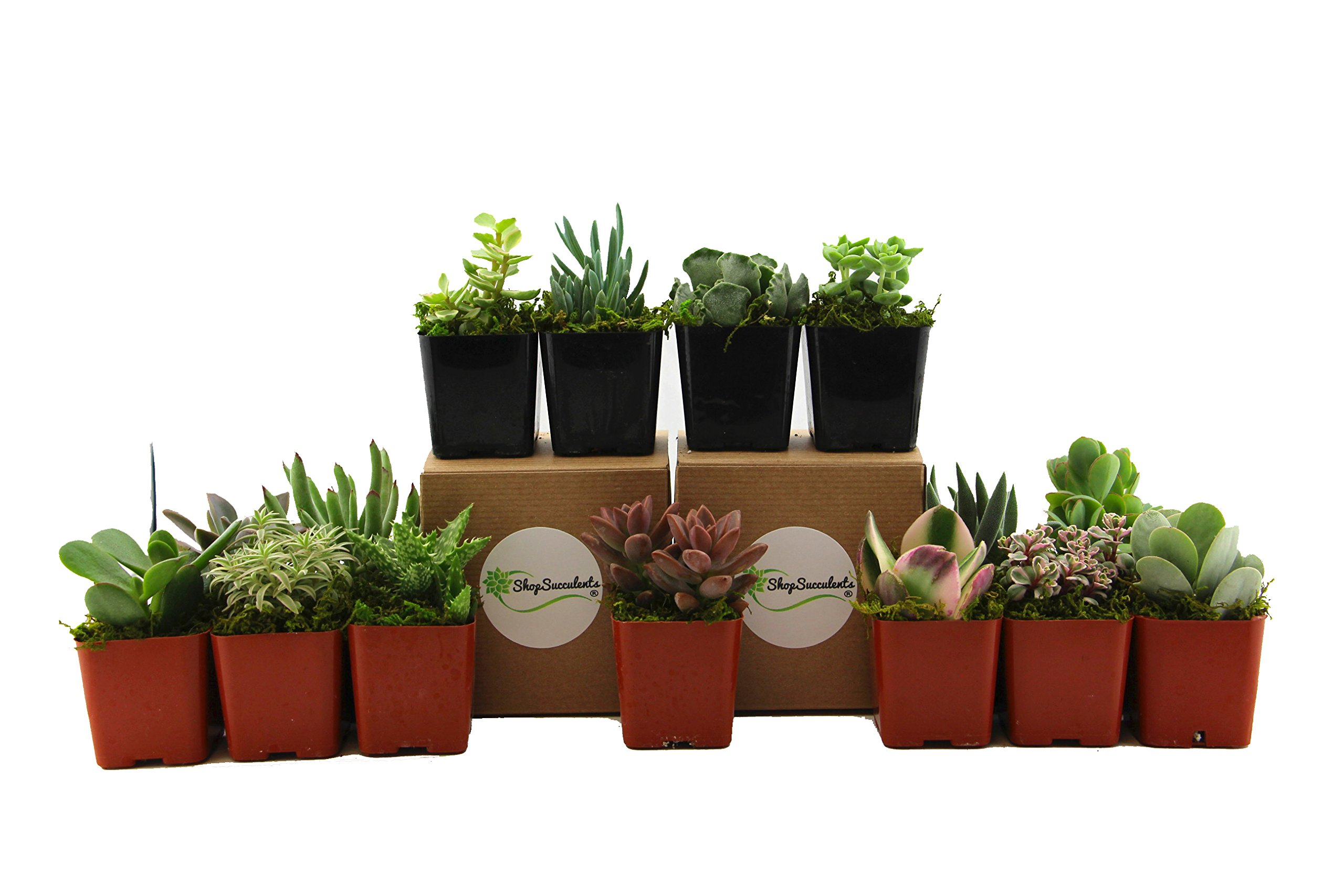 Shop Succulents | Unique Live Plants, Hand Selected Variety Pack of Mini Succulents | | Collection of 15 in 2'' pots, 15, Multicolor