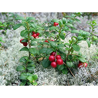 "Lingonberry - High in Anti-oxidants - 4"" Pot - Fresh Aroma : Garden & Outdoor"