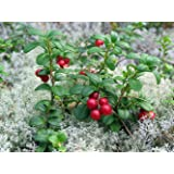 "Lingonberry - High in Anti-oxidants - 4"" Pot - Fresh Aroma"