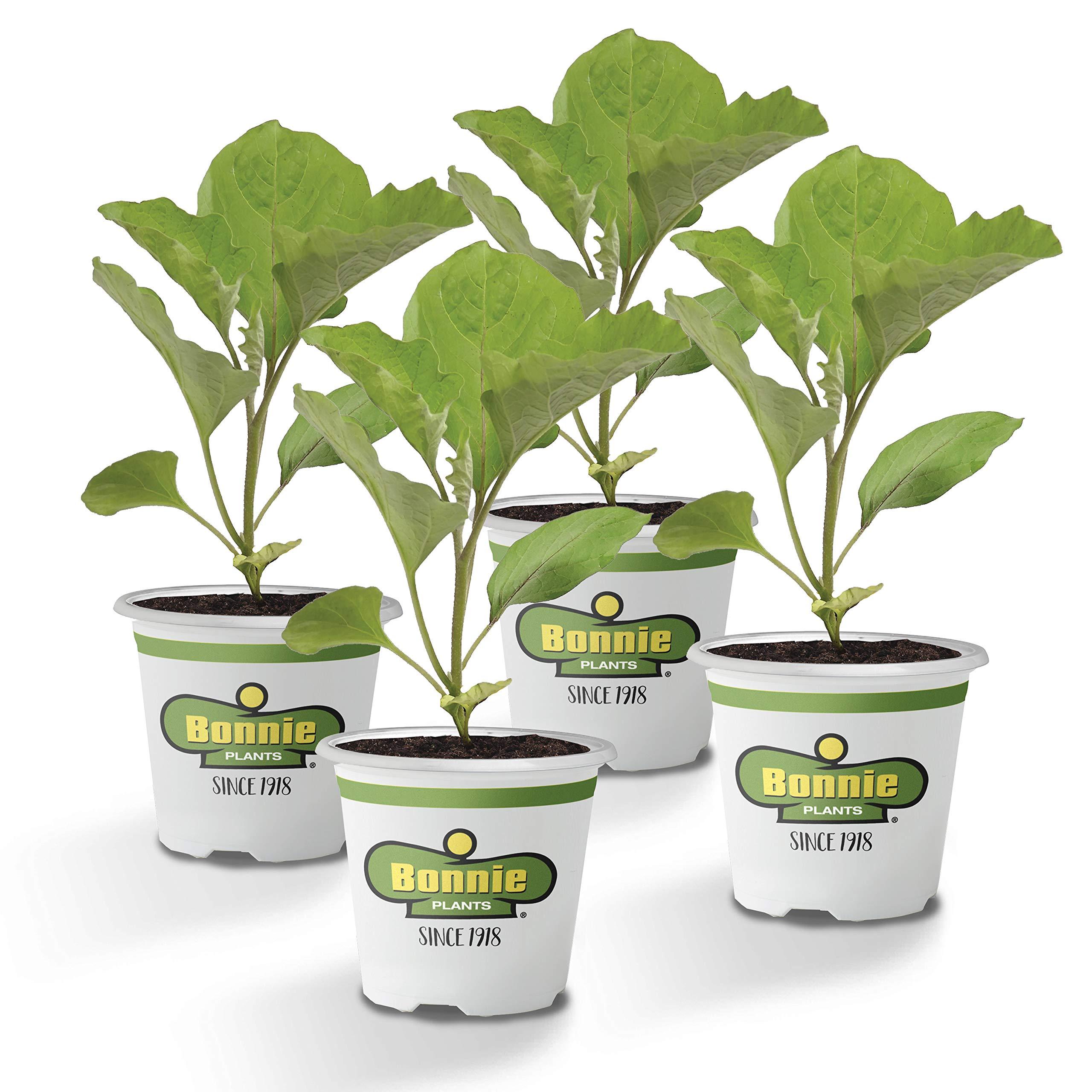 Bonnie Plants Ichiban Eggplant (4 Pack) Live Plants