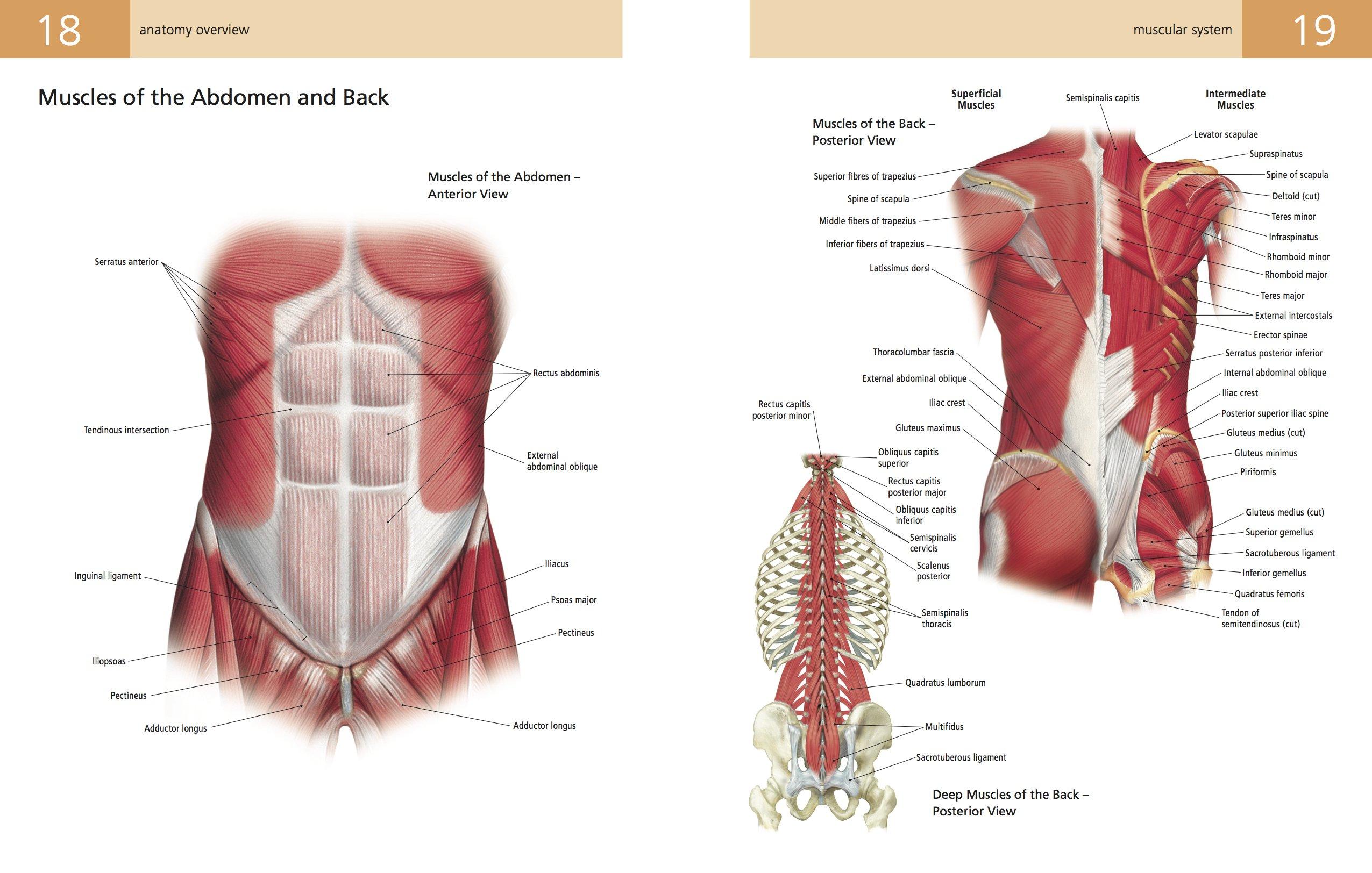 Berühmt Quadratus Lumborum Anatomie Galerie - Menschliche Anatomie ...