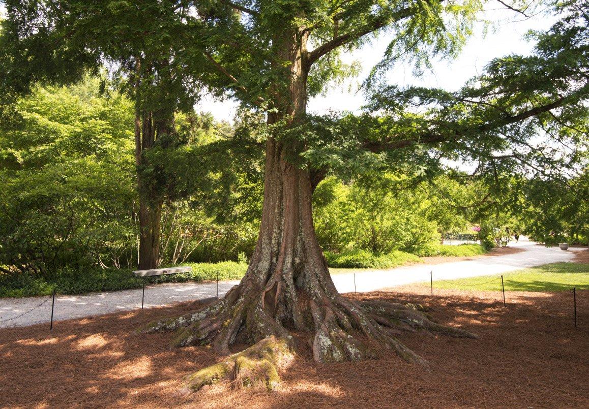 New Life Nursery & Garden Redwood Tree ((Metasequoia), ((Quart Pot)