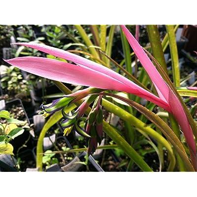 AchmadAnam Hardy Queens Tears (Billbergia nutans) Quart Plant : Garden & Outdoor