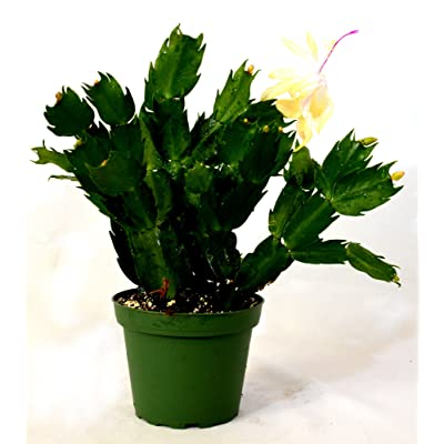 "9GreenBox - Rare Yellow Christmas Cactus Plant - Zygocactus - 4"" Pot: Home & Kitchen"