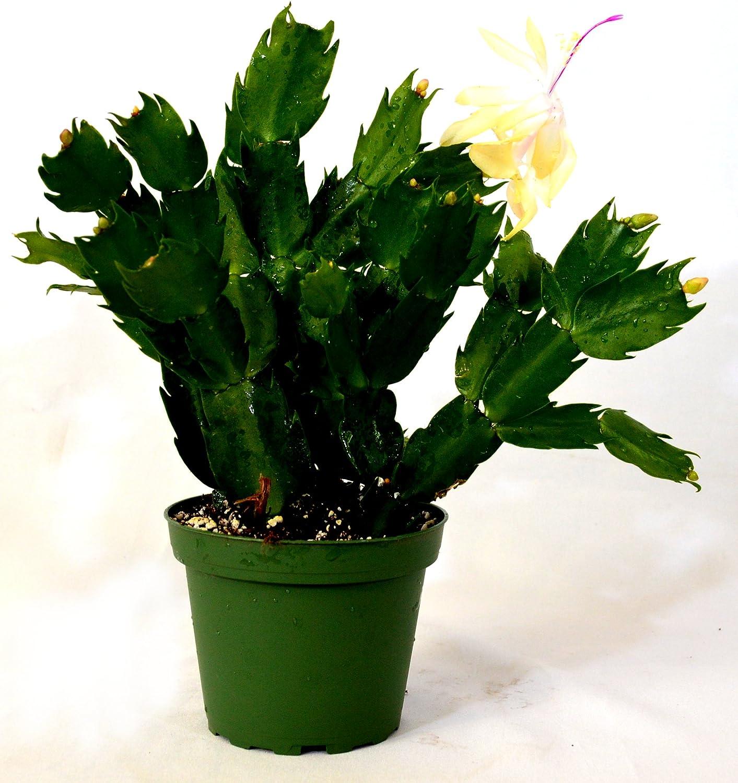9GreenBox - Rare Yellow Christmas Cactus Plant - Zygocactus - 4