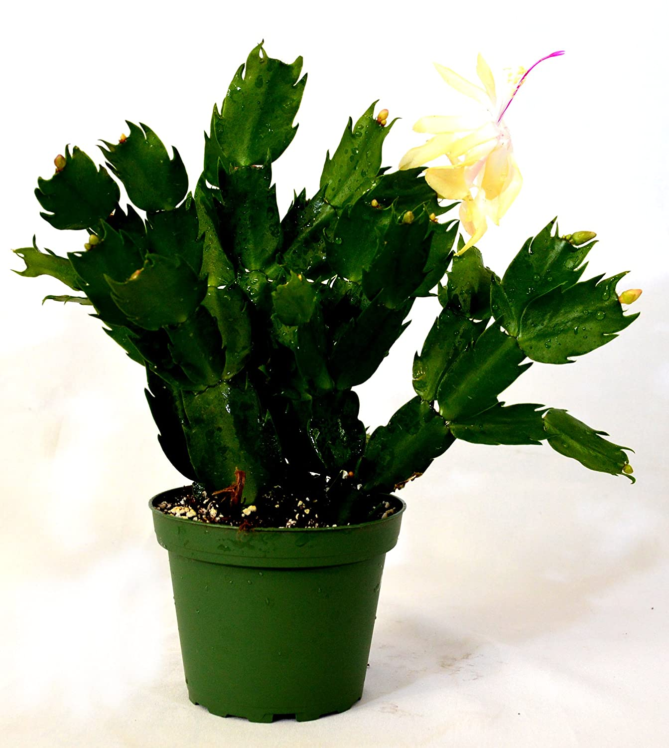 9greenbox Rare Yellow Christmas Cactus Plant Zygocactus 4 Pot Com Grocery Gourmet Food