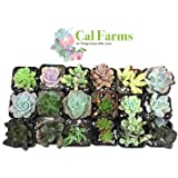 """Cal Farms 2"""" Beautiful Assorted Variety Succulents for Weddings Or Party Favors Or Succulent Gardens (Pack of 20)"""