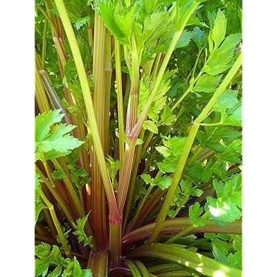 Portal Cool Rare? New! Heirloom Pink Plume Celery 30+ Seeds ?Dark Purple Stalks : Garden & Outdoor