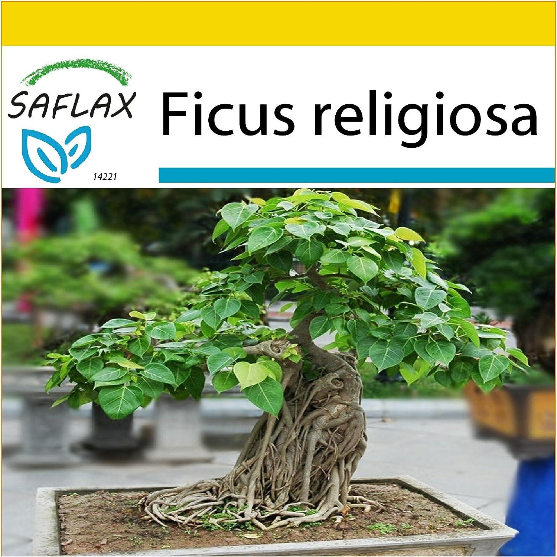 SAFLAX - Anzucht Set - Bonsai - Buddha-Feige/Bodhi-Baum - 100 Samen - Ficus religiosa