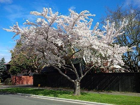 Prunus Yedoensis Yoshino Cherry Somei Yoshino Flowering Cherry 3ft Tall In 1 5l Pot 3fatpigs Amazon Co Uk Garden Outdoors