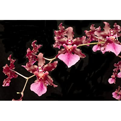 Orchid Insanity - Oncidium Sharry Baby - Chocolate Fragrance Very Popular, Easy to Grow and Bloom! Seedling Size Offered. NOT in Bloom/Bud When Shipped : Garden & Outdoor