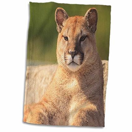 Cougar usa