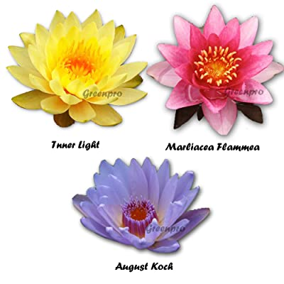 3 Pack Hardy Live Water Lily Tubers Nymphaea Inner Light | Marliacea Flammea | August Koch for Aquarium Freshwater Fish Pond Plant by Greenpro : Garden & Outdoor