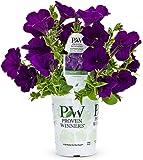 Supertunia Royal Velvet (Petunia) Live Plant, Purple Flowers, 4.25 in. Grande, 4-pack