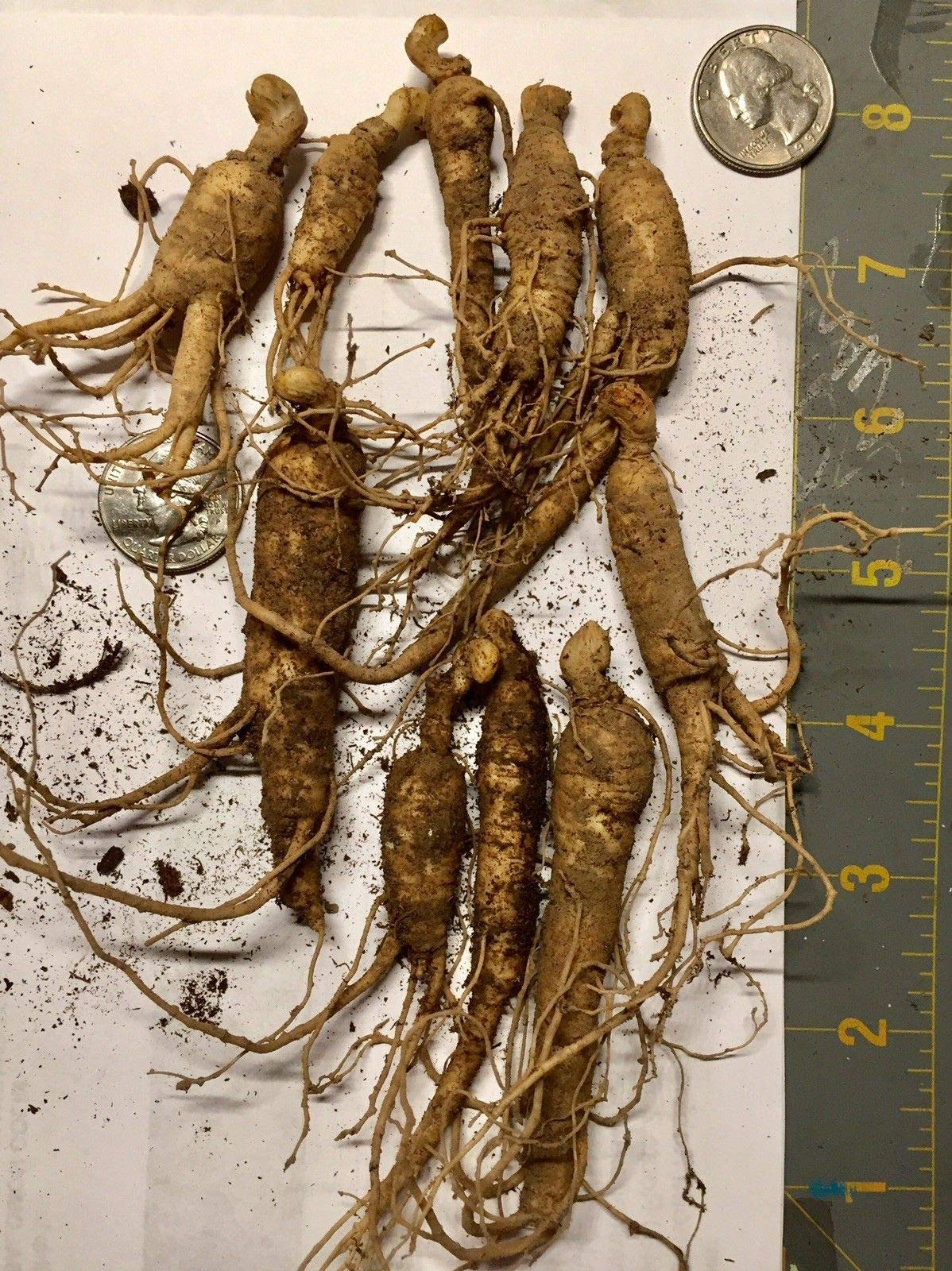 5 PANAX Ginseng Roots 4+ Inches Long -3 Year Old Forest Grown Roots by astor_farm (Image #1)