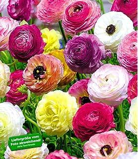 BALDUR-Garten Rosen \'Sea Foam\', 3 Pflanzen Bodendeckerrose: Amazon ...