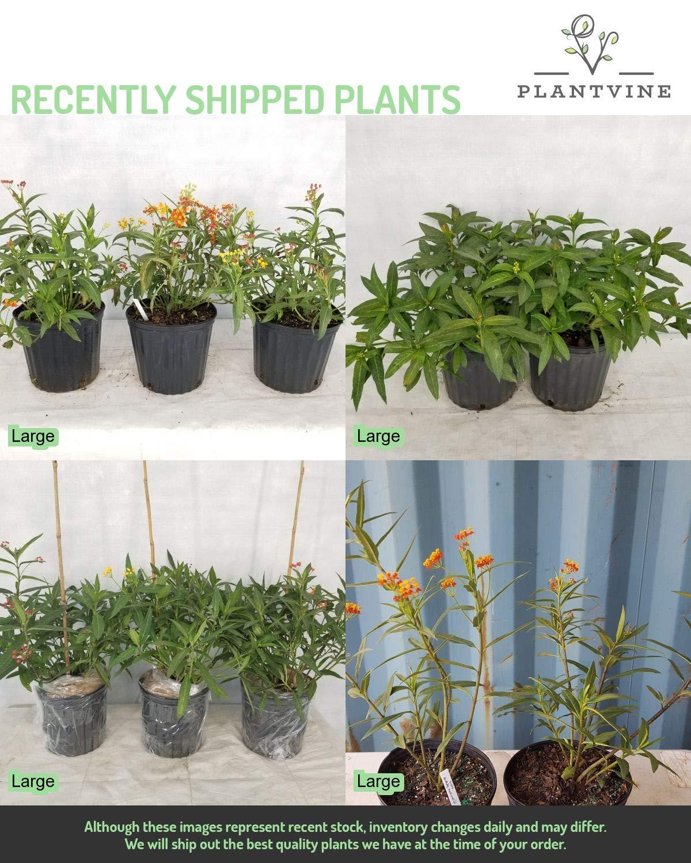 PlantVine Asclepias spp, Milkweed, Butterfly Flower - Large - 8-10 Inch Pot (3 Gallon), Live Plant by PlantVine (Image #5)