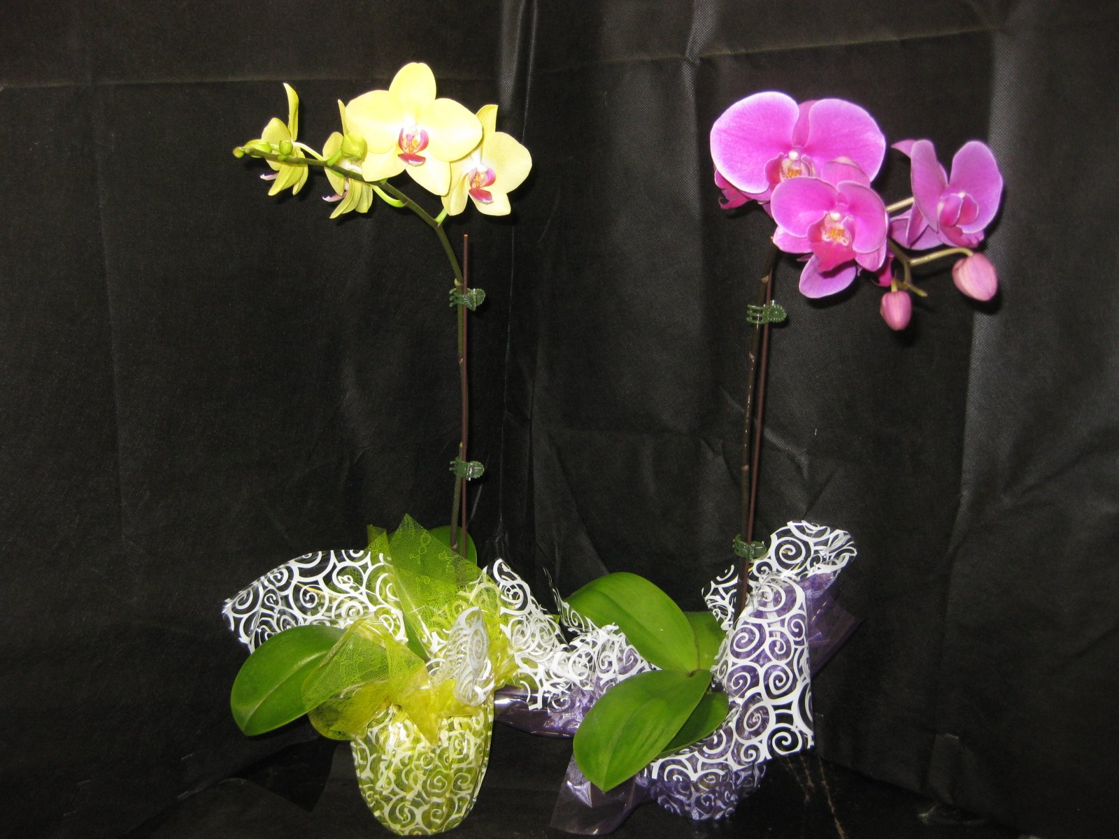 2 Blooming /Budded Flowering Phalaenopsis Orchid PLANTS-ADDS ELEGANT & STYLISH DECOR- Perfect Mother's Day Gift!