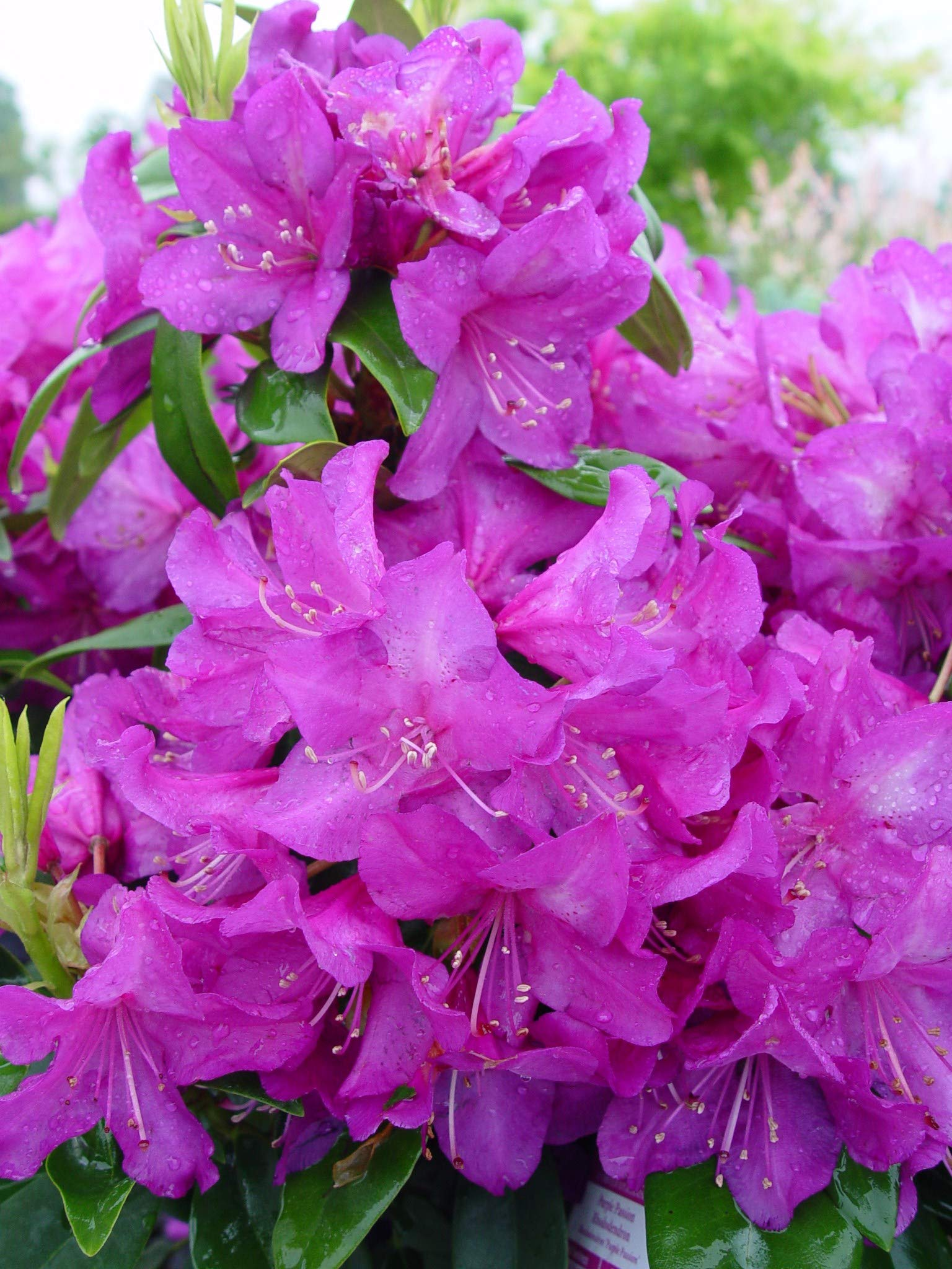 Rhododendron 'Purple Passion' (Rhododendron) Evergreen, purple flowers, #2 - Size Container by Green Promise Farms (Image #3)