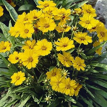 Dominik Blumen Und Pflanzen Winterharte Staude Madchenauge