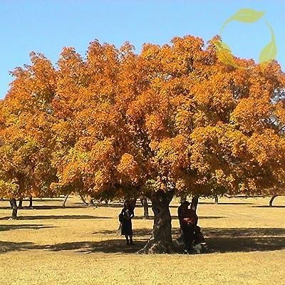 Elegant Maple Acer Elegantulum - 10+ Seeds : Garden & Outdoor