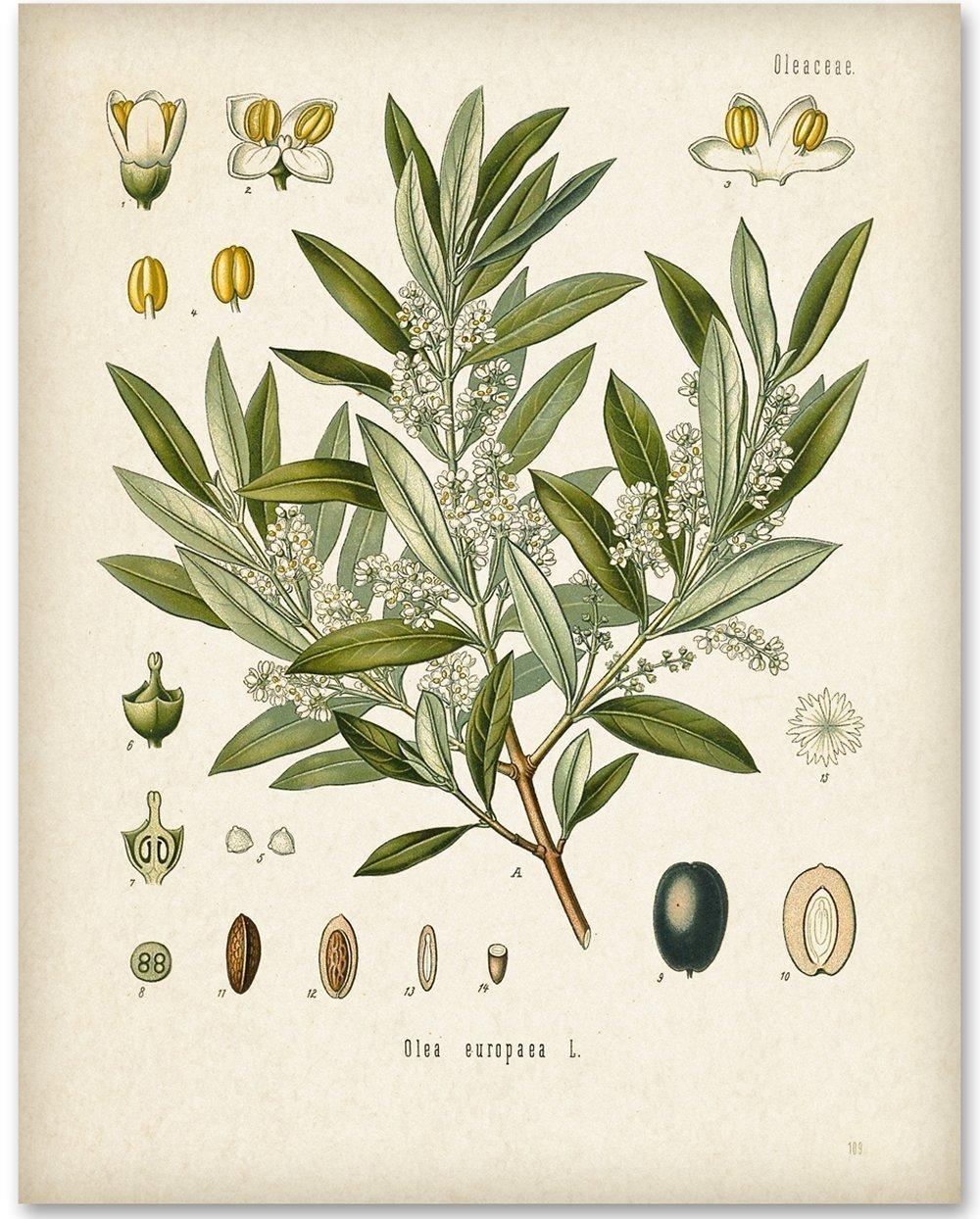 Olive Branch Botanical Artwork - 11x14 Unframed Art Print - Great Home Decor