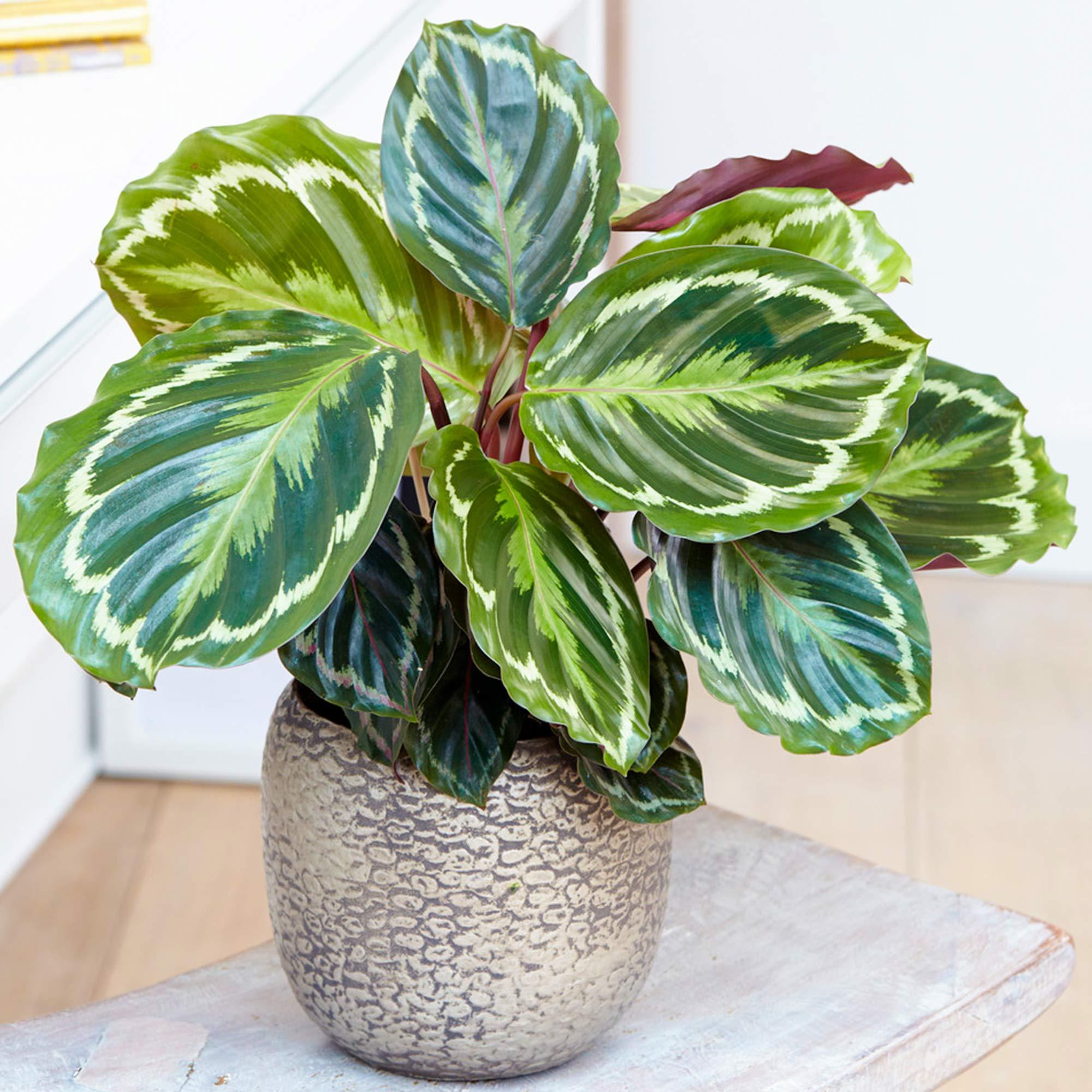 Evergreen Calathea Medallion | Best Indo- Buy Online in Iceland at  Desertcart