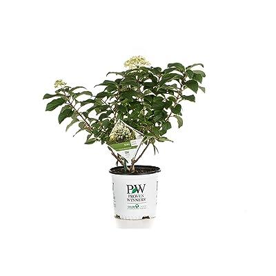 1 Gal. Bobo Hardy Hydrangea (Paniculata) Live Shrub, White to Pink Flowers : Garden & Outdoor
