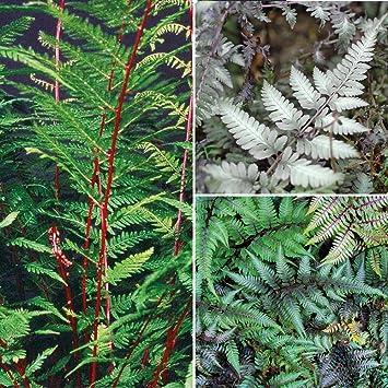 Outdoor Hardy Garden Fern Plants, Shade Loving Decorative Ferns For  Woodland Gardens, Borders U0026