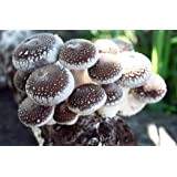 Root Mushroom Farm-Shiitake Mushroom Growing Kit-Starting Right Away