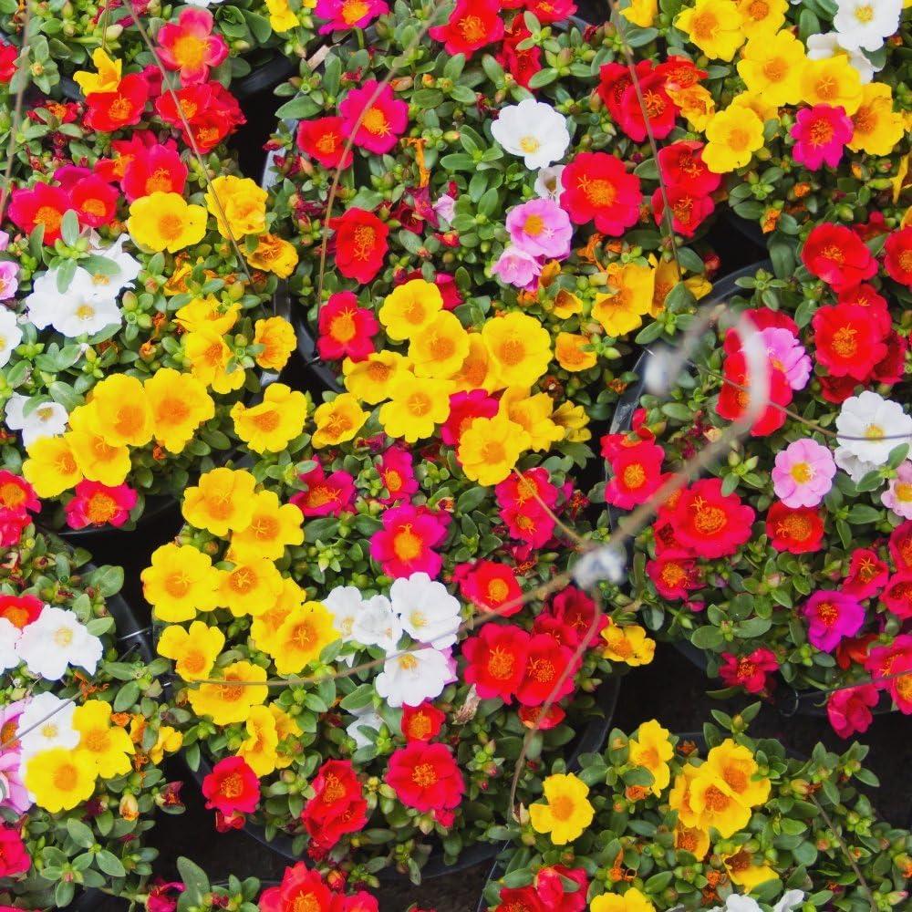Moss Rose semillas mezcladas - Portulaca grandiflora: Amazon.es ...