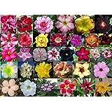 5 Sementes de Rosas do Deserto Triplas, Duplas e Simples Sortidas (Adenium obesum)