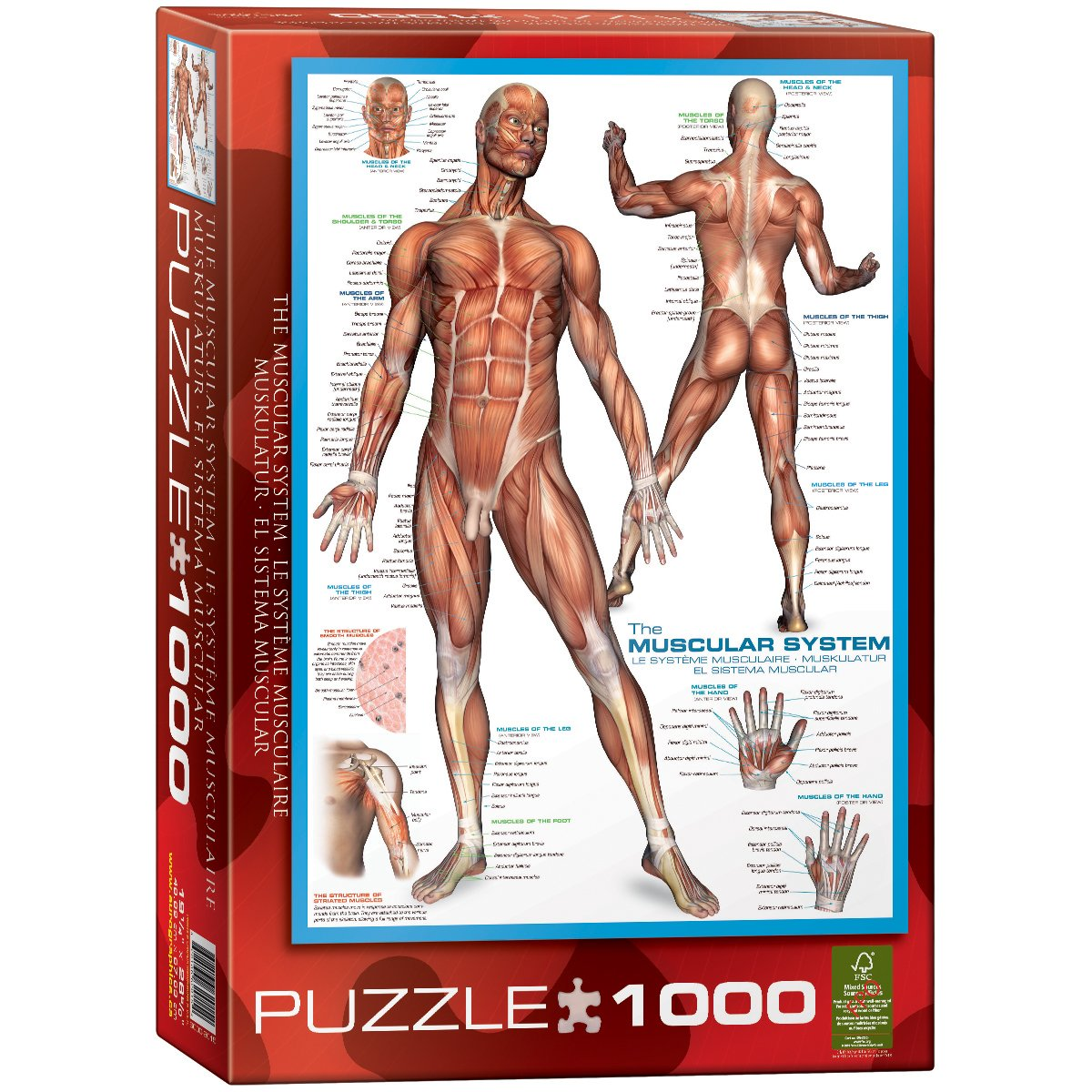 Amazon Eurographics Muscular System Puzzle 1000 Piece Toys