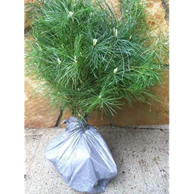 "Evergreen Assortment Transplant Seedlings 6"" to 25"" Tall Qty-8 : Garden & Outdoor"