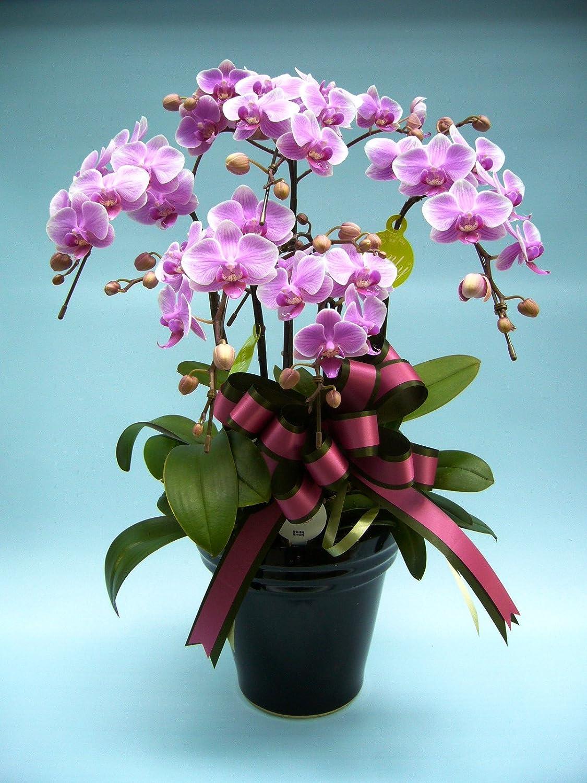 贈り物に最適!ピンク系胡蝶蘭【キャンディー】 『6.5号鉢5本立ちリボンラッピング付き』 生産者より日本全国へ胡蝶蘭をお届けいたします。 B00JHN8DG4