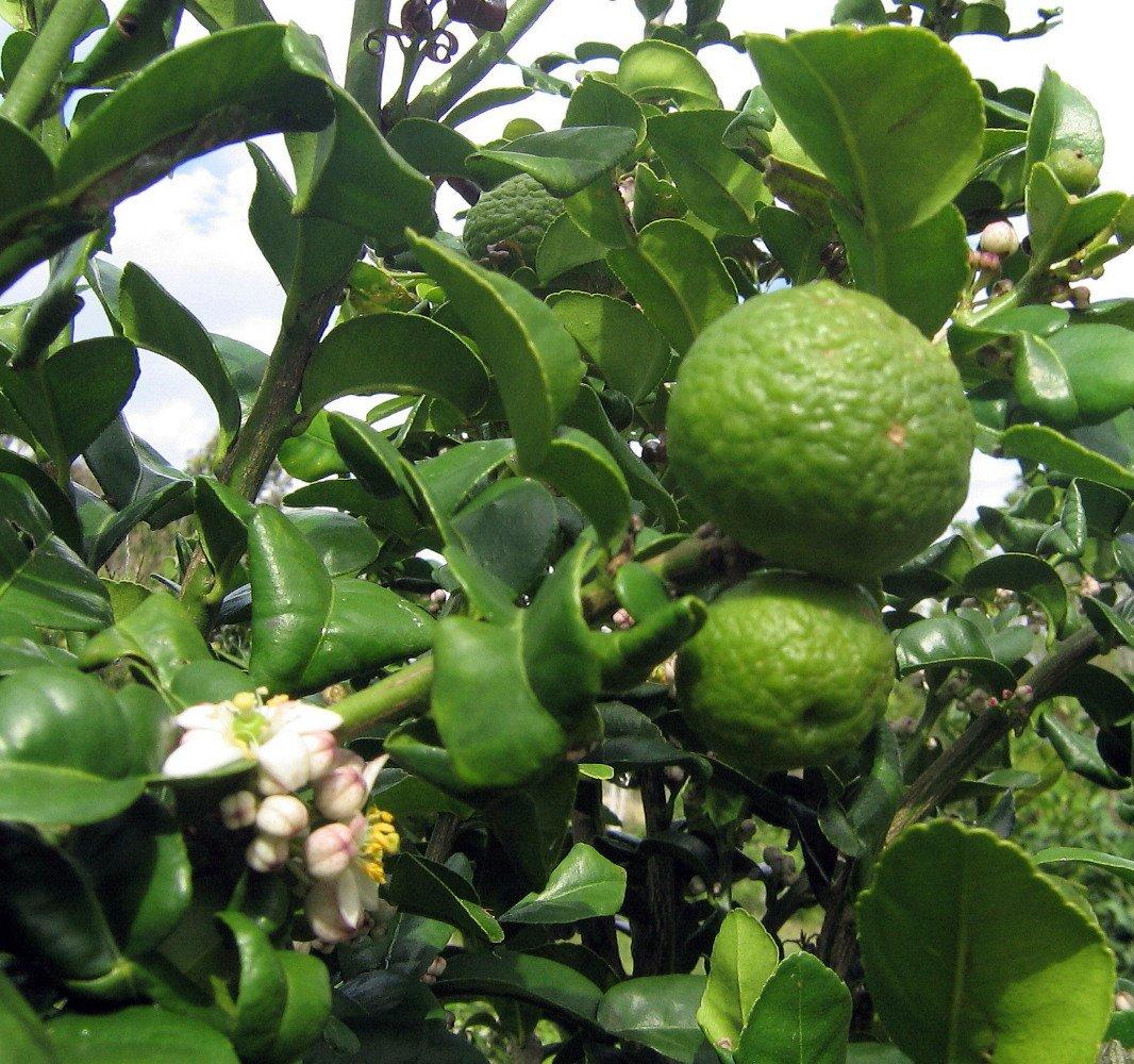Kaffir Lime Tree-Fruit Bearing Size-Indoors/Out-NO Ship TX,FL,AZ,CA,LA,HI-5'' Pot by Hirt's Gardens (Image #3)