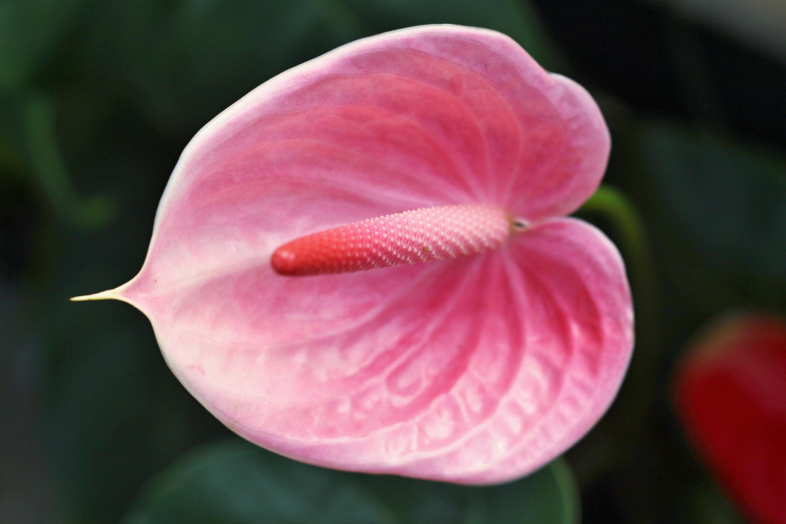 Anthurium Pink - Live House Plant - Easy to Grow - Florist Quality - Cleans the Air by Florida Foliage (Image #1)